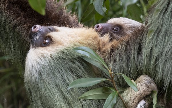 2 toed Sloth with baby thumbnail
