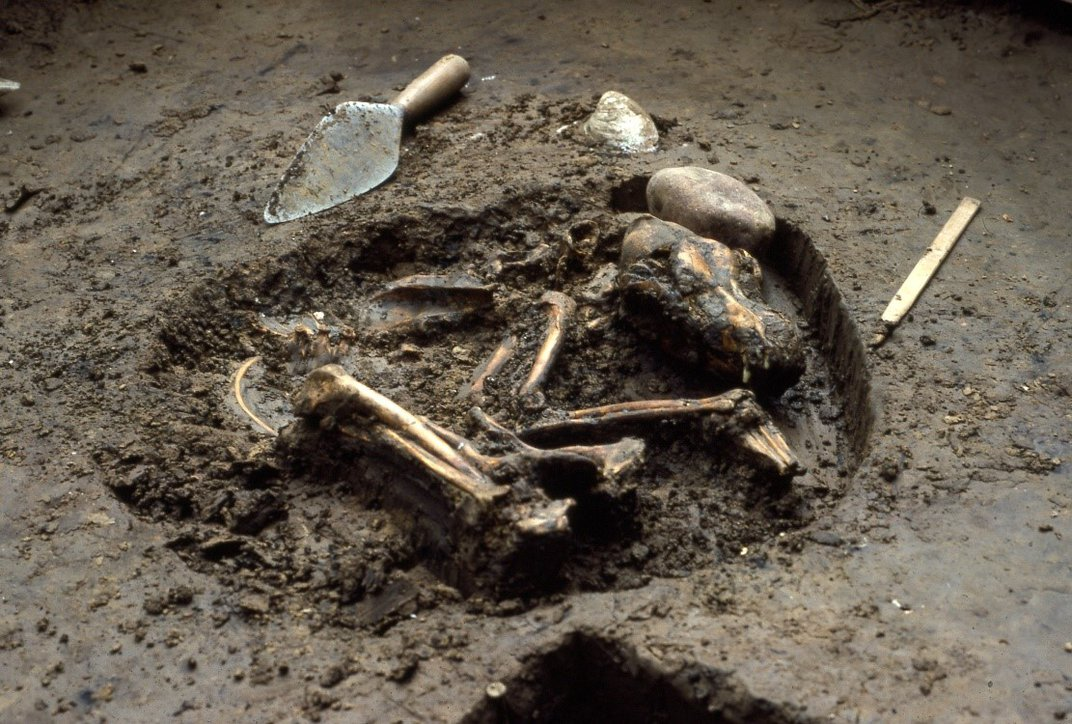 Partially uncovered dog skeleton in dirt next to a hand shovel