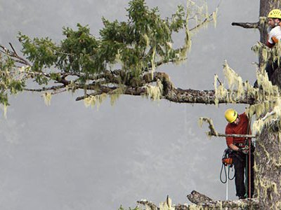 Climbers Brian French and Will Koomjian ascend the Brummit fir in Coos County Oregon.  It is the National Champion Douglas fir and stands 335 feet tall.