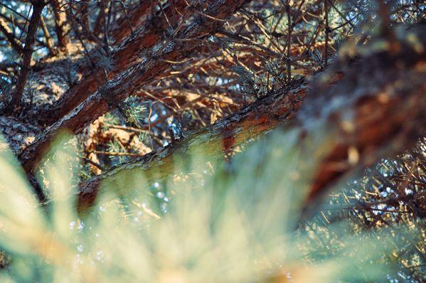 Through a pine tree thumbnail