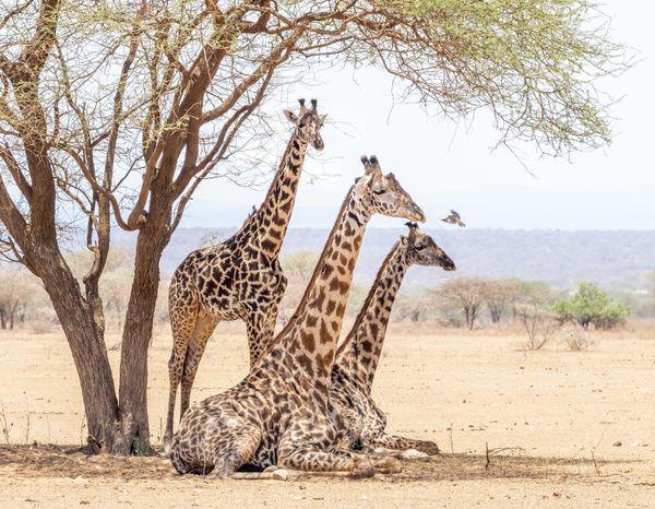 Three Giraffe and an Oxpecker thumbnail