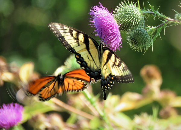photobombed by a monarch. thumbnail
