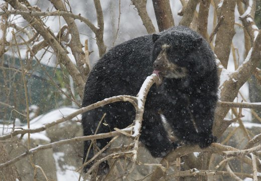20110520110700Andean-Bear.jpg