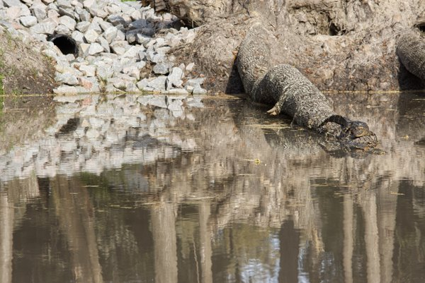 Alligator on a log thumbnail