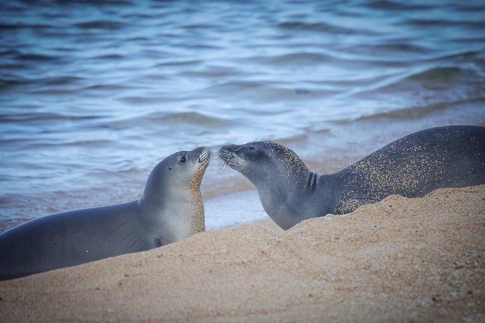 Why Rare Hawaiian Monk Seals Are Lining Up to Get Their Shots