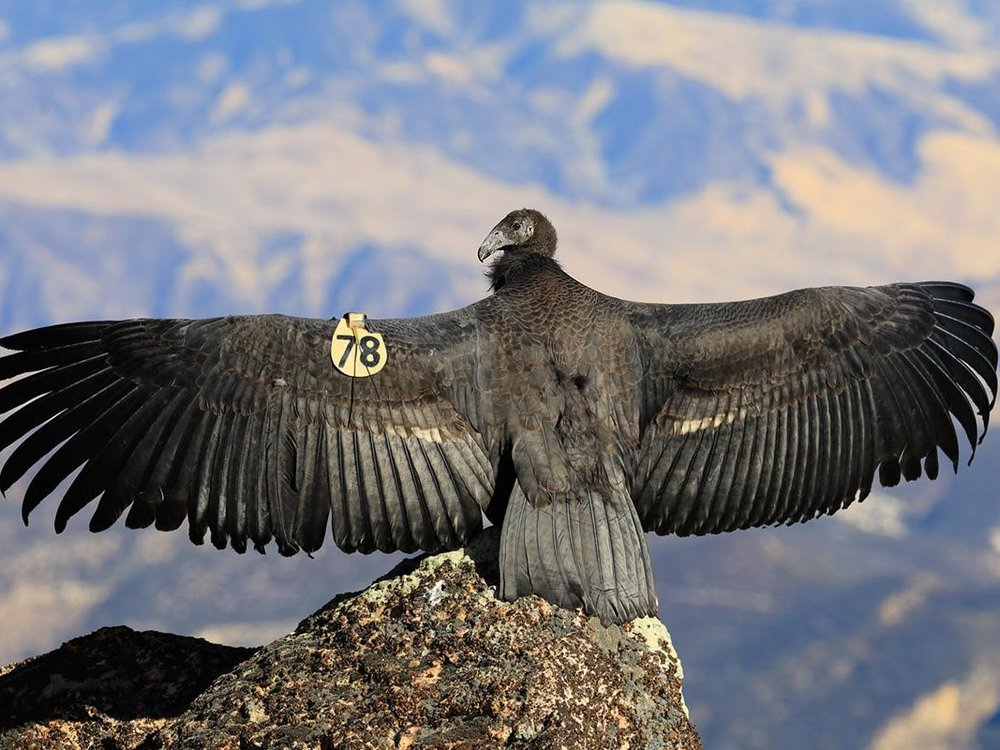 Scientists use a California condor specimen from 1835 — part of the Smithsonian's very first collection of items — to study the critically endangered species. Pictured: a young California condor in Pinnacles National Park. (Gavin Emmons)
