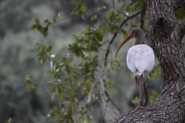 Ibis in a Tree thumbnail