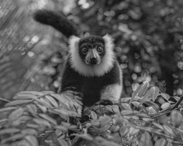 Black and White Ruffed Lemur  thumbnail