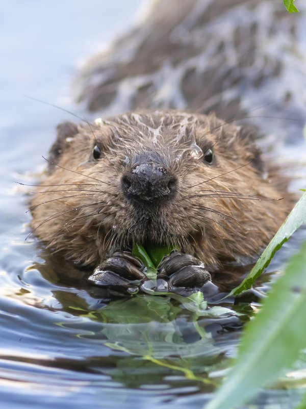 Happy beaver kit thumbnail