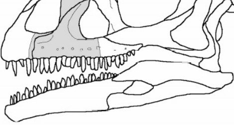 """The shape of the """"Pachysuchus"""" fossil (in grey) set into a sauropodomorph dinosaur skull"""