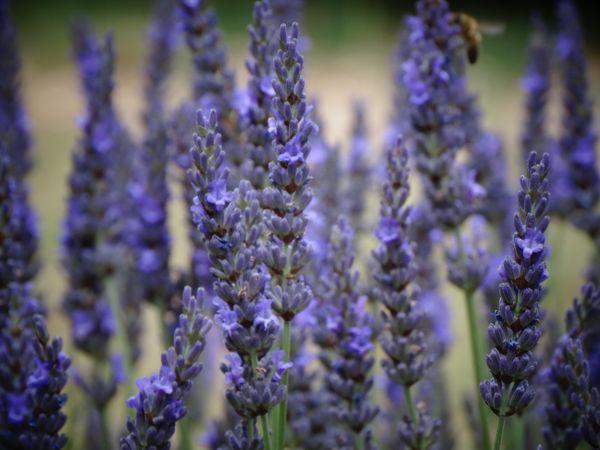 Lavender field thumbnail