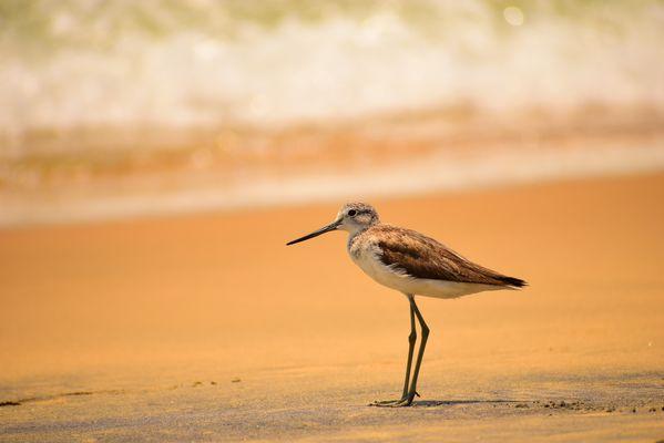 Sharp Shore Bird thumbnail