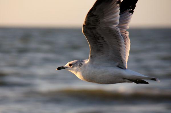 Seagul Upclose thumbnail