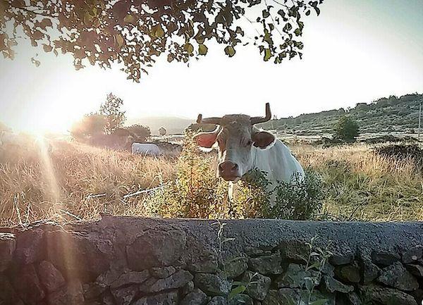 Spanish Mountain cow thumbnail