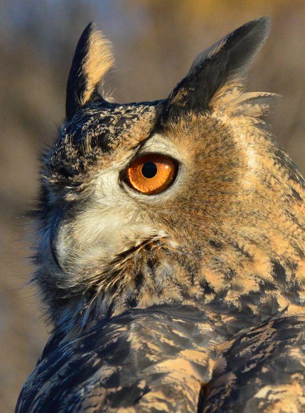 An owl in the setting Sun thumbnail
