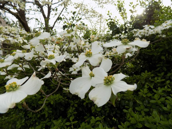 Dogwood tree in bloom thumbnail