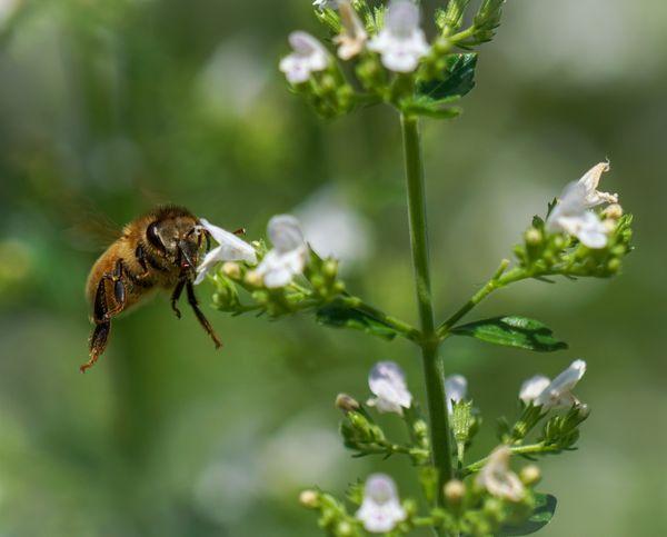 Honey Bee Foraging thumbnail