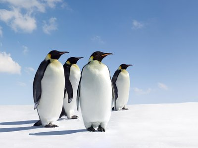 No one knows exactly how many Emperor penguins are left in Antarctica.