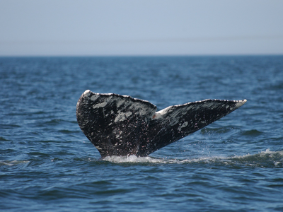 New genetic research suggests that the gray whale spotted off the coast of Namibia in 2013 originated in the western Pacific.