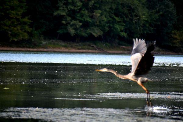 Great blue heron taking off on flight thumbnail