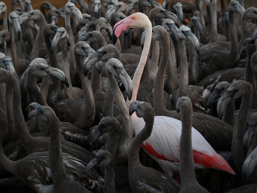 A pink adult flamingo stands tall amid shorter gray birds. The pink flamingo is nearly white in its body but has bright red feathers near its underbelly and a pink beak.