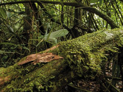 A newly discovered katydid species uses drumming to communicate.