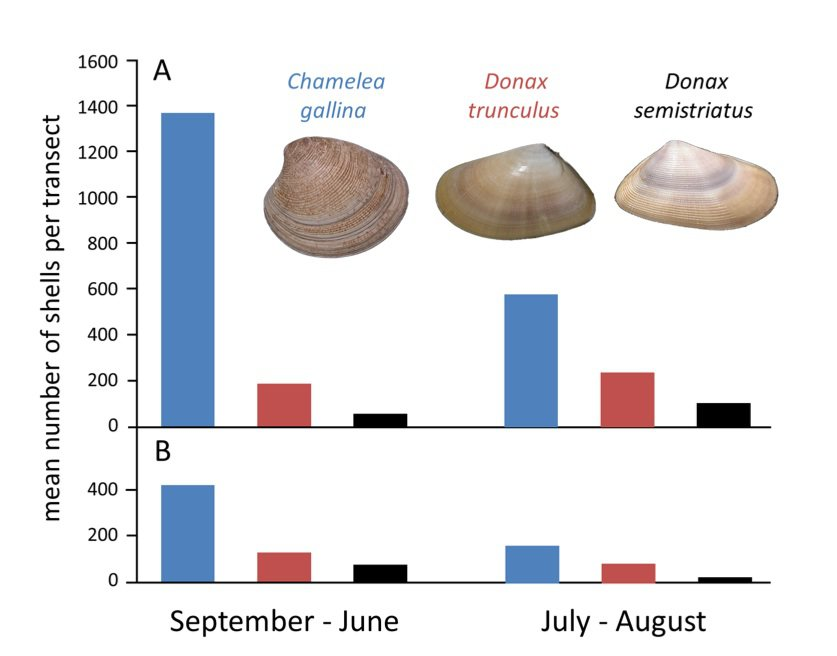 Abundance of the three most common shells found on Llarga beach, A) from 1978 to 1981 and B) from 2008 to 2010, during both the high and low tourist seasons. Photo: Kowalewski et. al., PLoS One