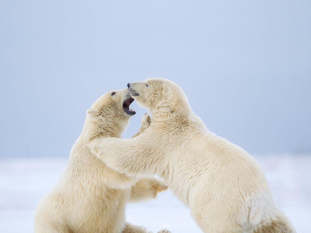 Polar Bear 42-55456522.jpg