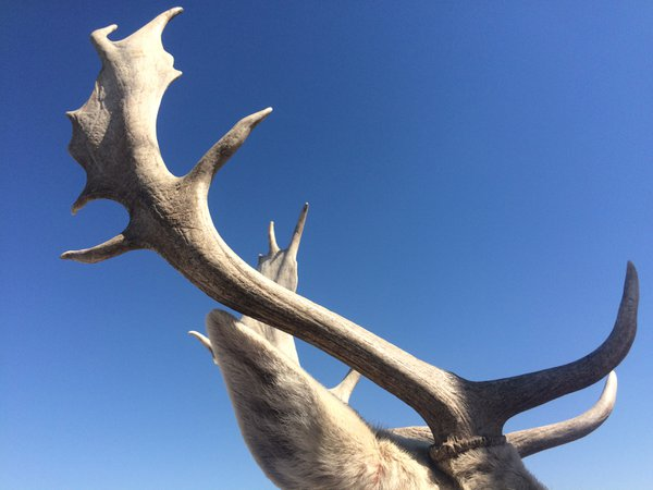 Antlers on a clear day  thumbnail
