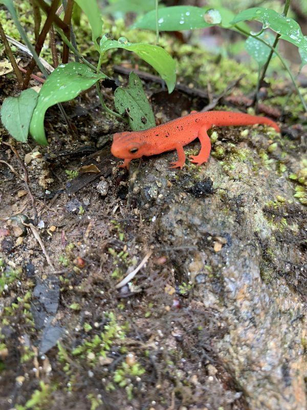 An eastern newt relaxing near rattlesnake lodge.  thumbnail