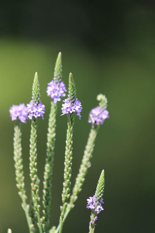 Little Purple Wildflowers thumbnail