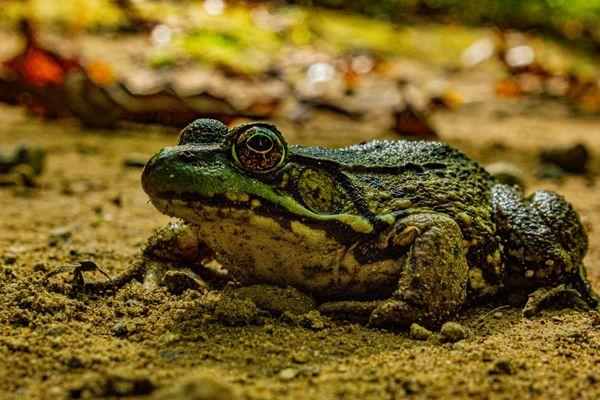 Northern Green Frog thumbnail
