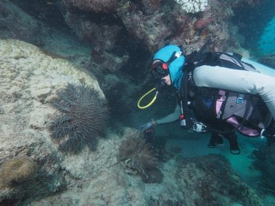 Dr. Frederieke Kroon looking at a crown-of-thorns starfish on the Great Barrier Reef.