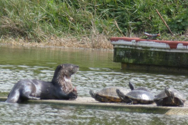 Otter and Turtles enjoying Lunch thumbnail