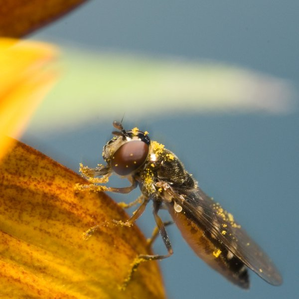 Hoverfly feasting on a sunflower thumbnail