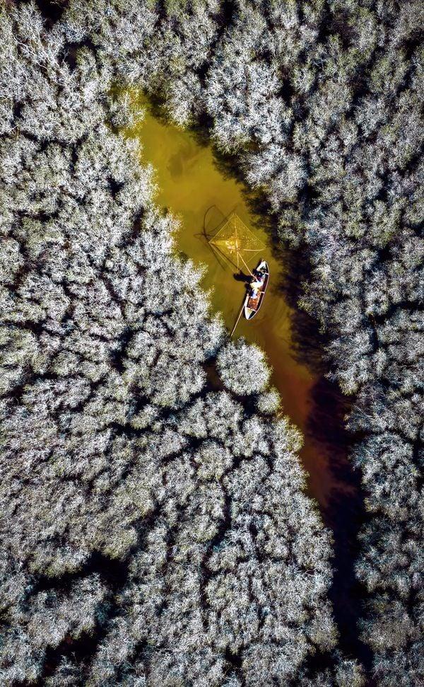 Fishing in the white-flowered mangrove thumbnail