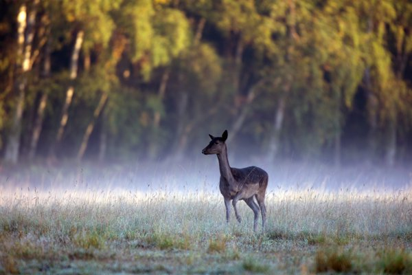 A female Fallow deer at dawn thumbnail