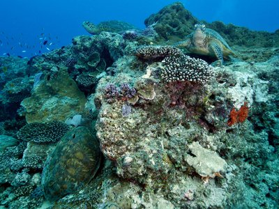 Three green sea turtles, Chelonia mydas, on a coral reef, Heron Island, Great Barrier Reef, Australia.