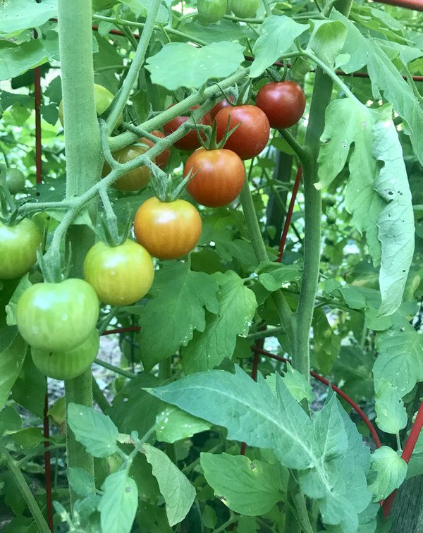 Garden Cherry Tomatoes- A Rainbow of color thumbnail