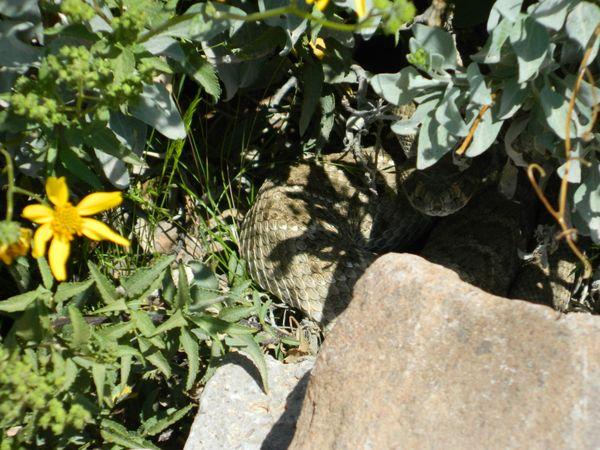 A rattlesnake hiding under a bush thumbnail