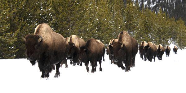 Bison Herd thumbnail