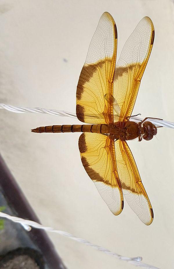 Dragonfly in Diwali Lights thumbnail