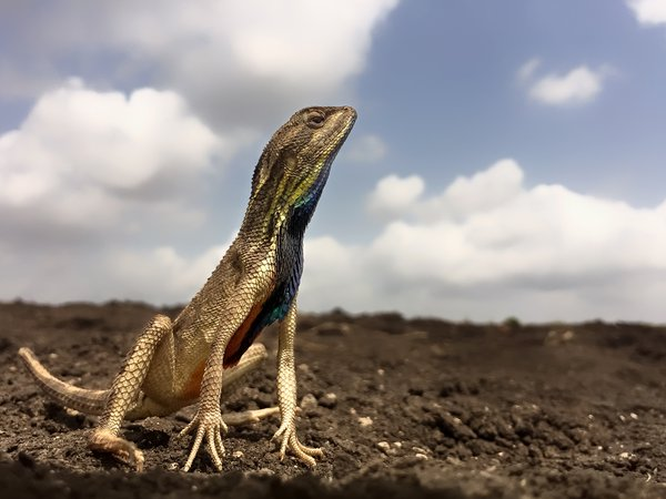 Fan throated Lizard thumbnail