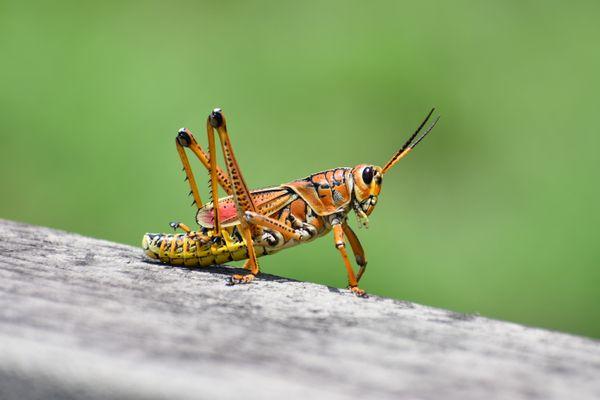 Eastern Lubber Grasshopper thumbnail