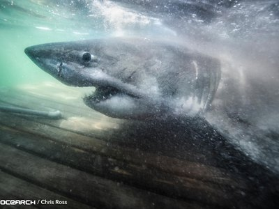 Researchers with OCEARCH caught a 17-foot-long great white shark on the morning of October 2.