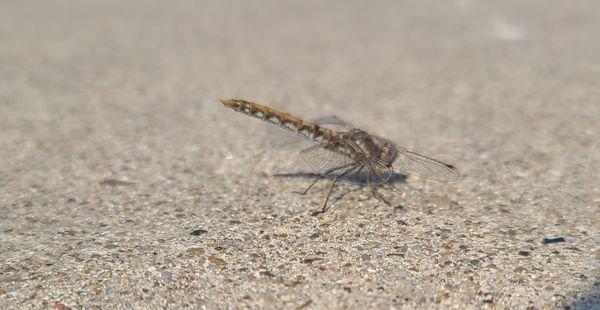 A dragonfly on concrete thumbnail