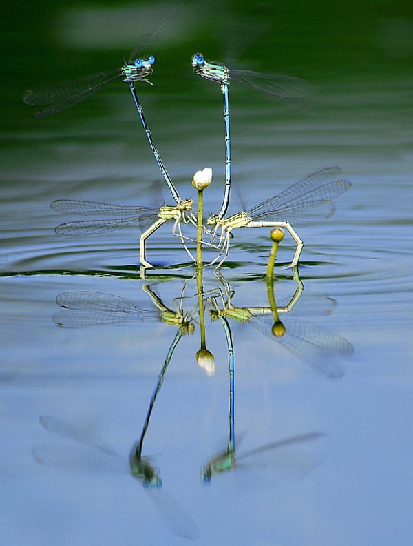The photo represents lovers dragonflys. and was taken in dead Danube arm in Western Hungary, in 2008 June. thumbnail