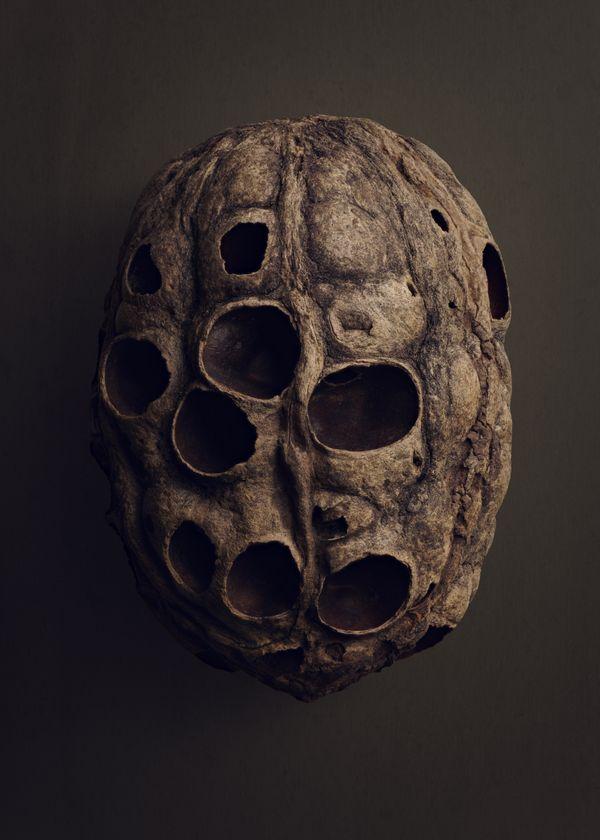 Blister Pod (Sacoglottis amazonica) thumbnail