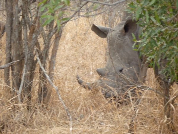 A black rhino eating in the Royal Malawane Game Reserve,South Africa 2017 thumbnail
