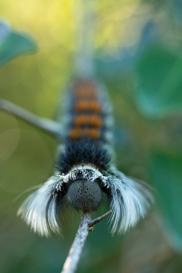 Hairy Caterpillar  thumbnail
